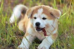 Japanese Akita Inu dog, puppy lays Royalty Free Stock Photos