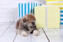 Japanese Akita-inu, akita inu dog puppys royalty free stock images