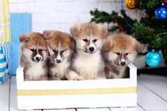 Japanese Akita-inu, akita inu dog puppys sits on a the New Year`s background. Japanese Akita-inu, akita inu dog puppy sits on a white background royalty free stock image