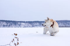 Japanese Akita Inu dog stands in the snow with a raised frozen paw in the mountain. Royalty Free Stock Image