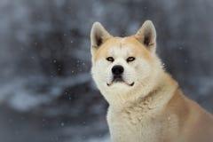 Japanese Akita Inu Dog Stock Image