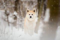 Japanese Akita Inu Dog. Winter Portrait royalty free stock photos