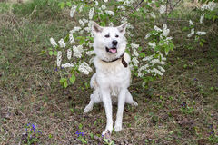 Japanese Akita Inu with a flowering cherry tree in the spring in the forest. Stock Photos