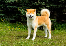 The Japanese Akita Inu looks. The Japanese Akita Inu is in the park royalty free stock photos