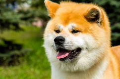 The Japanese Akita Inu portrait. The Japanese Akita Inu is in the park Stock Image