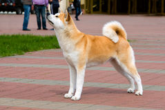 The Japanese Akita Inu profile. The Japanese Akita Inu is in the park royalty free stock photos