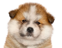 Japanese Akita-inu puppy. Close-up portrait on a white background Stock Photography