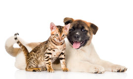 Japanese Akita inu puppy dog and bengal kitten looking at camera.  Royalty Free Stock Images