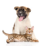Japanese Akita inu puppy dog and bengal kitten together. isolated. On white Royalty Free Stock Image