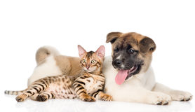 Japanese Akita inu puppy dog and bengal kitten together. isolated. On white Royalty Free Stock Photo