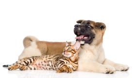 Japanese Akita inu puppy dog and bengal kitten together. isolated Royalty Free Stock Photography