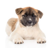 Japanese akita inu puppy dog lying in front and looking at camera. isolated. On white Royalty Free Stock Photo