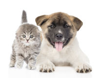 Japanese Akita inu puppy dog lying with small scottish cat. isolated. On white Stock Photography