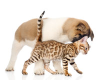 Japanese Akita inu puppy dog playing with small bengal cat. Royalty Free Stock Photos