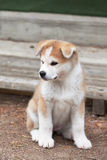 Japanese Akita Inu puppy Stock Images