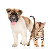 Japanese Akita inu puppy dog standing with bengal kitten togethe. R Stock Images