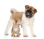 Japanese Akita inu puppy dog standing with bengal kitten together.  Royalty Free Stock Images