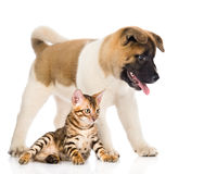 Japanese Akita inu puppy dog standing near bengal cat. isolated Royalty Free Stock Image