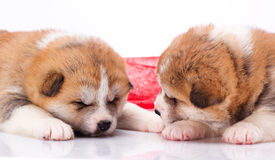 Japanese Akita-inu puppy sleep over white Stock Photos