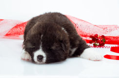 Japanese Akita-inu puppy sleep over white Stock Photo