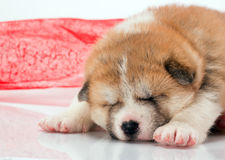 Japanese Akita-inu puppy sleep over white Stock Photography