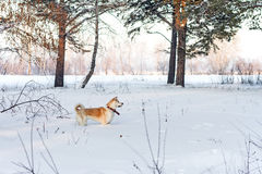 Japanese Akita Inu in the winter forest in a deep snow in a field in the trees. Stock Images