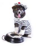 Japanese Akita puppy Stock Photo