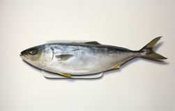 Japanese amberjack or yellow tail fish Royalty Free Stock Images