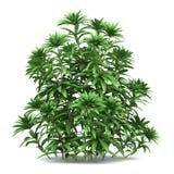 Japanese andromeda bush isolated on white. Background Stock Photo