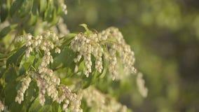 Japanese andromeda flowers,in Showa Kinen Park,Tokyo,Japan stock video footage