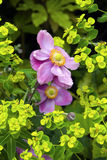 Japanese anemone Royalty Free Stock Photos