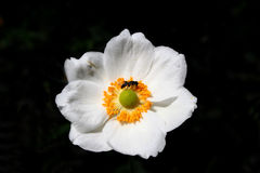 Japanese anemone. Fly in centre of Japanese anemone Royalty Free Stock Images