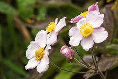 Japanese anemone Anemone hupehensis flower. Pink garden plant in the family Ranunculaceae, aka Chinese anemone, thimbleweed or w. Indflower. Poppy anemones on Stock Photography