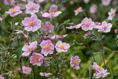 Japanese anemone & x28;Anemone hupehensis& x29; in flower. Pink garden plant in the family Ranunculaceae, aka Chinese anemone, thimbleweed or windflower stock image