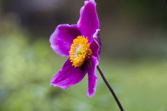 Japanese anemone Stock Photos