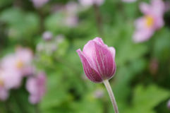 Japanese Anemone bud Stock Images