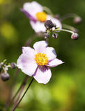 Japanese Anemone flower Royalty Free Stock Images