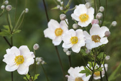 Japanese anemone Stock Photo