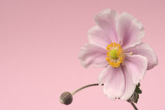 Japanese anemone flower on pink background Royalty Free Stock Photography