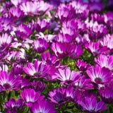 Japanese anemone flowers Stock Photography
