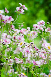 Japanese Anemone flowers Stock Photo