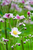 Japanese Anemone flowers in the garden Royalty Free Stock Photo