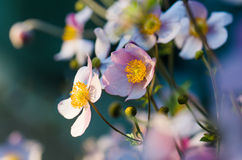 Japanese Anemone flowers in the garden, close up.  Note: Shallow Royalty Free Stock Photos