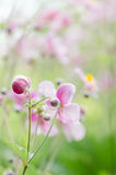 Japanese Anemone flowers in the garden, close up.  Note: Shallow Stock Photography