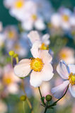 Japanese Anemone flowers in the garden, close up Stock Photos