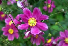 Japanese anemone flowers Stock Photo