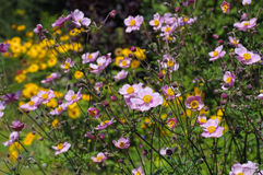 Japanese anemone flowers in summer Stock Images