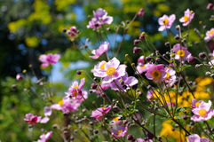 Japanese anemone flowers in summer Stock Image