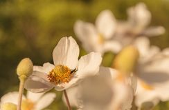 Japanese Anemone hupehensis. Close up of an Anemone hupehensis var. japonica stock photos