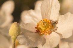 Japanese Anemone hupehensis. Close up of an Anemone hupehensis var. japonica royalty free stock image